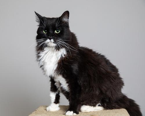 Quince - Cat Idol 2019